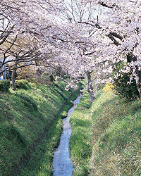 The Canal with Cherry Blossoms