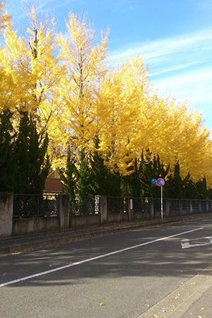 キャンパス内のイチョウ並木(秋)