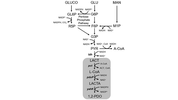 図8.遺伝子組み換え乳酸菌におけるプロピレングリコール生産経路